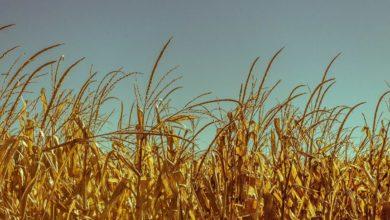 Photo of L'Algérie achète au mois 480.000 tonnes de blé, dont à la France: quid des promesses d'«autosuffisance»?