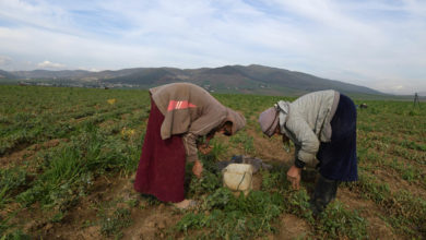 Photo of En Tunisie, les ouvrières agricoles victimes d'accidents mortels: la série noire continue!