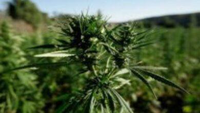 Photo of Légalisation du cannabis au Maroc : des retombées énormes en prévision
