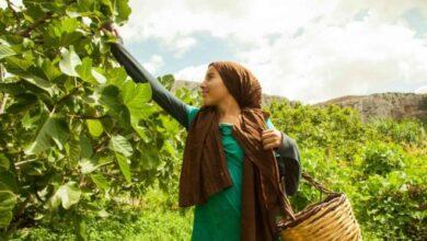 Photo of Tunisie -L'appellation d'origine contrôlée « Figue de Djebba » obtient la protection internationale
