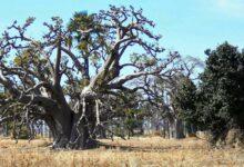 Photo of Noyaux crachés, hectares reboisés: le pari d'un ramadan écolo au Sénégal