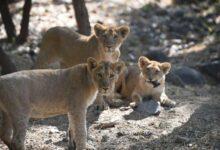 Photo of L'Afrique du Sud va interdire l'élevage de lions en captivité pour la chasse
