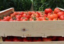 Photo de La tomate marocaine pour sauver la pénurie en Europe ?
